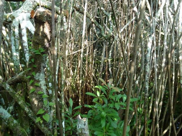Bermudian Mangrove Swamp